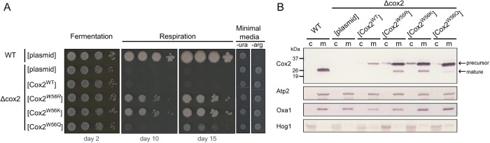 Substituting residues of properties similar to those of arginine in position 56 of allotopic Cox2 restores cellular respiration to a cox2 -null strain. (A) Tenfold serial dilutions of yeast liquid cultures from strains transformed with the indicated constructs or with an empty vector (plasmid) were plated on fermentable (glucose), respiratory (ethanol + glycerol), and minimal, selective media (-ura or -arg, for verifying the presence of the transforming plasmid or the mitochondrial genome, respectively). (B) Immunoblots decorated with an anti-Cox2 antibody of cytosolic (c; 100-µg) and mitochondrial (m; 50-µg) fractions of the indicated yeast strains. The Cox2 precursor and mature forms of Cox2 are indicated. Antibodies anti-Atp2 and anti-Oxa1 were used to immunodetect the corresponding mitochondrial markers and anti-Hog1 was used for the cytosolic marker. Squared brackets indicate Cox2 variants expressed from plasmids. All the Cox2 variants contain an MTS from Oxa1.