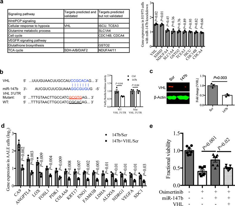miR-147b-VHL axis mediates drug-tolerance through impaired VHL activity. a , Left, gene candidates predicted for miR-147b by the TargetScan tool were shown in signaling pathways enriched for gefitinib-tolerance in PC9 single-cell clones in fig. 1f . Right, qRT-PCR analysis for the predicted gene candidates for miR-147b in H1975 cells with miR-147b knockdown compared with scrambled control. n=3 independent biological replicates. b , Left, computational prediction of RNA duplex formation between miR-147b and the 3'UTR (untranslated region) of VHL mRNA. Mutations generated within the 3'UTR for the luciferase assay are shown in red. Right, dual-luciferase reporter assay in miR-147b-overexpressing AALE cells. The Firefly luciferase and Renilla luciferase activities were measured 48 hours post co-transfection with miR-147b or control vector and wild-type (WT) or mutant (Mut) VHL 3'UTR. n=3 independent biological replicates. c , Western blot analysis and quantification of VHL in miR-147b-overexpressing AALE cells. β-Actin was used as loading control. n=3 independent biological replicates. d , qRT-PCR analysis for fold change of hypoxia gene expression in AALE cells with miR-147b overexpression relative to scrambled control (147b/Scr) and cells with co-overexpression of miR-147b and VHL relative to scrambled control (147b+VHL/Scr). ACTB was used as endogenous control. n=3 independent biological replicates. e , Fractional viability of HCC827 cells treated with vehicle, osimertinib (20 nM), miR-147b vector, VHL vector or combinations. The cell viability was measured on day 3. The relative cell viability treated with vehicle on day 3 was calibrated as 1. n=7 independent biological replicates. Data are mean ± s.e.m. and were analysed with unpaired two-tailed t -test ( a , b , c , d ); Kruskal-Wallis test (e).