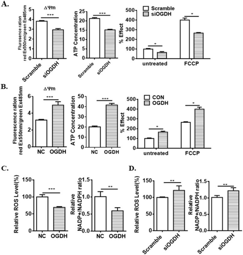OGDH augments mitochondrial functions. ( A ) OGDH siRNA inhibits mitochondrial membrance potential (ΔΨm), intracellular ATP concentration and O2 consumption rate in AGS cells. ( B ) Ectopic expression of OGDH increases mitochondrial bioenergetics in BGC823 cells. ( C ) OGDH siRNA upregulates ROS level and NADP + /NADPH ratio. ( D ) The levels of ROS and NADP + /NADPH ratio are downregulated by OGDH overexpression. Values are presented as mean ± SEM from 3 independent cultures. * P