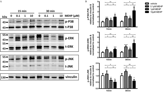 Effect of MEHP on the MAPK pathway. After 72 h of culture, in vitro differentiated VCTs were treated for 15 or 30 min with MEHP (0.1, 1, or 10 μ M ). ( A ) Representative images of western blots. Proteins ( 50 μ g ) were loaded in 4–12% Tris-Bis gradient gels, and then blots were probed with anti-p-ERK, t-ERK, p-P38, t-P38, p-JNK, t-JNK, and vinculin antibodies. ( B ) The protein level was calculated by densitometry using ImageJ. Values are presented as the mean + SD of the densitometric value relative to vinculin and normalized to vehicle control ( n = 3 ). Note: DMSO, dimethylsulfoxide; MAPK, mitogen-activated protein kinases; MEHP, mono(2-ethylhexyl) phthalate; ST, syncytiotrophoblast. Statistical analysis was performed using paired t -tests in comparison with vehicle control; * p