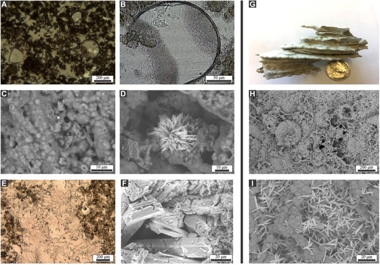 Minerals from the surface and subsurface of Ringvent. (A – F ) Selected images of Ringvent minerals, collected at the seafloor by Alvin . ( A ) diatoms embedded in silica matrix; ( B ) diatom frustule showing partial dissolution; ( C ) opal-A microspheres forming the matrix; ( D ) barite rosette within the matrix formed by opal-A microspheres; ( E,F ) fibrous aragonite cement crystals. Images A to D come from a large silicate sample collected at the ORP site; specimens shown in E and F were collected from a biologically active small mound at the Mound 1 location (Supplemental Fig. 6 ). A and E are photomicrographs of thin sections; B-D and F are SEM microphotographs; analyses were performed by C. Canet and F. Núñez-Useche, UNAM. G-I) Selected images of subsurface silicate. ( G ). Silicate nodule collected at 2.35 m sediment depth in core P11. ( H ), SEM/EDX microphotographs of the nodule surface showing bead-like formations coated with silica at intermediate and ( I ) at high magnification, with barite crystal rosettes on the silica matrix. Analyses were performed by I. Aiello, MLML.