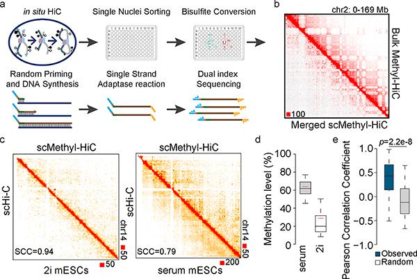 Simultaneous analysis of DNA methylome and chromatin architecture in individual cells by single cell Methyl-HiC a. Workflow of single cell Methyl-HiC. b. Comparison between ensemble contact matrix of single cell Methyl-HiC from 103 serum mESCs and bulk Methyl-HiC on chromosome 2. Contact matrixes are normalized by sequencing coverage and showed at 1Mb resolution. c. Comparison of contact matrixes on chromosome 14 between same number (n=50) of ensemble single cell Hi-C (scHi-C) 15 and single cell Methyl-HiC for mESCs in 2i and serum conditions. Matrix similarity is evaluated by HiCRep 22 at 1Mb resolution. SCC means stratum-adjusted correlation coefficient. d. The comparison of methylation levels distribution between serum (n=103) and 2i (n=47) mESCs from scMethyl-HiC. Boxes are median with quartiles and whiskers extend to 5th and 95th percentile. Red dotted lines show the average methylation levels from previously published data 18 . e. DNA methylation concordance on loop anchors in individual single cell Methyl-HiC datasets. Chromatin loops are identified from bulk Methyl-HiC using HiCCUPS (n=3110). Boxes are median with quartiles and whiskers extend to 5th and 95th percentile.