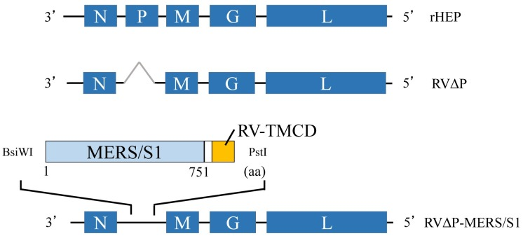 Schematic illustration of recombinant RV genome constructs used in this study. Recombinant HEP-Flury (rHEP) has a complete genome of RV HEP-Flury strain (upper). RVΔP lacks the RV-P gene (middle). RVΔP-MERS/S1 harbors the MERS-CoV S1 gene fused with the C-terminal region of RV G protein (amino acids 446 to 524), which includes transmembrane, cytoplasmic domain, and stem domains of RV-G gene between RV-N and RV-M genes of the genome (lower).