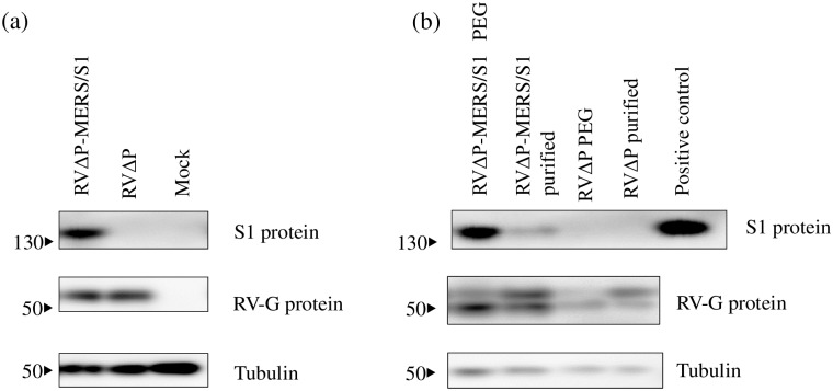 Western blotting analysis of RV-G and MERS-S1 protein expression. BHK-P cells were inoculated with RVΔP-MERS/S1 or RVΔP and incubated at 33 °C for 48 h. RV-G protein and MERS-S1 protein expression were confirmed with western blotting using monoclonal antibody against RV-G and polyclonal antibody against MERS-CoV S1 protein, respectively, a) in cell lysate preparations and b) in polyethylene glycol (PEG)-precipitated or sucrose-purified viruses. Recombinant MERS-CoV S1 protein were used as a positive control.