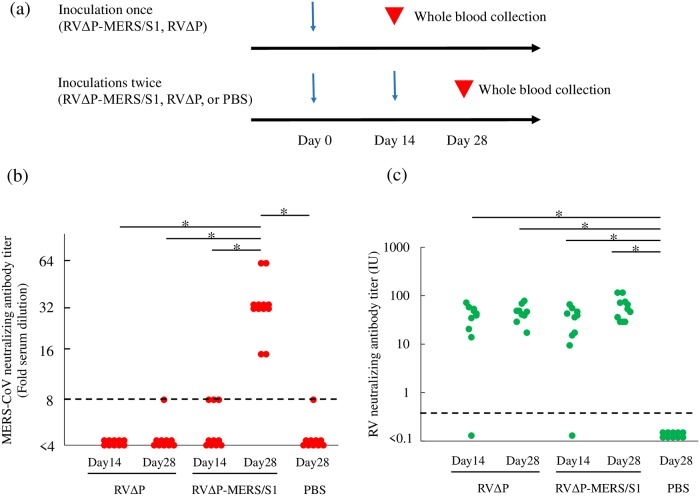 Analysis of VNAs against MERS-CoV and RV in mice inoculated with RVΔP-MERS/S1 or RVΔP. a) Immunization and whole-blood collection schedules of 4-week-old female BALB/c mice. Mice were inoculated with RVΔP-MERS/S1, RVΔP, or PBS as control. All mice were inoculated intraperitoneally with 100 μL of virus solution containing 10 7 FFU/mL of each virus. Titers of VNAs against MERS-CoV and RV were determined using the serum of mice 14 days after last inoculation. b) Titers of VNAs against MERS-CoV detected in the serum of mice inoculated with RVΔP-MERS/S1 (n = 12 in mice inoculated once or twice, respectively), RVΔP (n = 10 in mice inoculated once or twice, respectively), or PBS (n = 10 in mice inoculated twice). c) Titers of VNAs against RV were also detected in the same samples. The Steel-Dwass nonparametric test was used, and asterisks indicate a significant difference (p