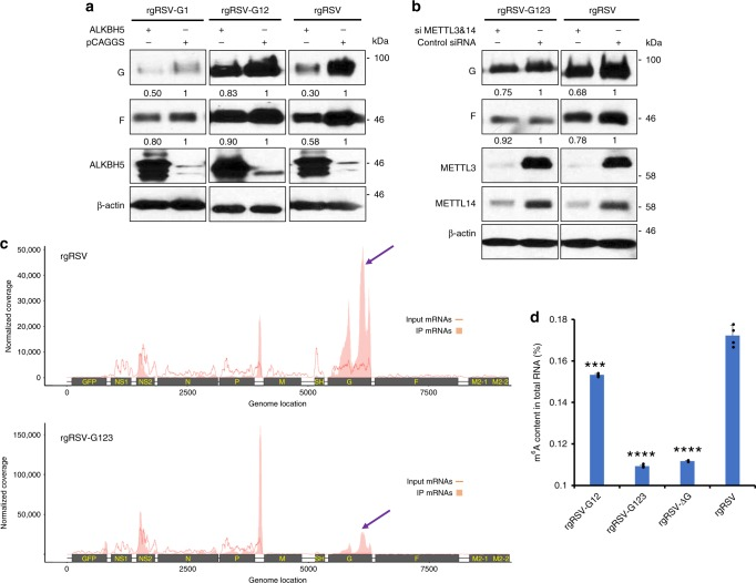 The attenuated phenotype of m 6 A mutated rgRSVs is m 6 A-related. a rgRSV-G1 and -G12 were less dependent on the m 6 A eraser protein. A549 cells were transfected with a plasmid encoding ALKBH5. At 36 h post-transfection, cells were infected with each rgRSV at an MOI of 0.5. At 18 h post-infection, cell lysates were harvested for western blot analysis. Western blot images are the representatives of three experiments. b rgRSV-G123 expression was less dependent on m 6 A writer protein. A549 cells were transfected with control siRNA or siRNA targeting METTL3 and METTL14. At 36 h post-transfection, cells were infected with each rgRSV at an MOI of 0.5. At 18 h post-infection, cell lysates were harvested for western blot analysis. The density of western blot was quantified by Image J software, and the ratio of the protein bands was calculated. Images are the representatives of three experiments. c Distribution of m 6 A peaks on the RSV mRNAs from A549 cells infected by rgRSV and rgRSV-G123. Confluent A549 cells were infected by each m 6 A-mutated rgRSV at an MOI of 1.0, cell lysates were harvested at 36 h post-infection. Total RNAs were extracted from cell lysates, and were enriched for mRNA by binding to oligo dT, and subjected to m 6 A-seq. The distribution of m 6 A-immunoprecipitated (IP) reads were mapped to the RSV mRNAs (pink block). The baseline distributions for mRNAs from input sample are shown as a pink line. Data presented are the mean coverage from two independent virus-infected A549 cell samples ( n = 2). Red arrow indicates the m 6 A enrichment in G mRNA. d Virion RNA of m 6 A-mutated rgRSVs is defective in binding to anti-m 6 A antibody. Virion RNA was extracted from highly purified RSV virions. Antigenome was quantified by real-time RT-PCR. Each amount of antigenome was bound to strip wells using a RNA high binding solution, and m 6 A was detected using a specific capture anti-m 6 A antibody and then quantified colorimetrically by reading the absorbance i