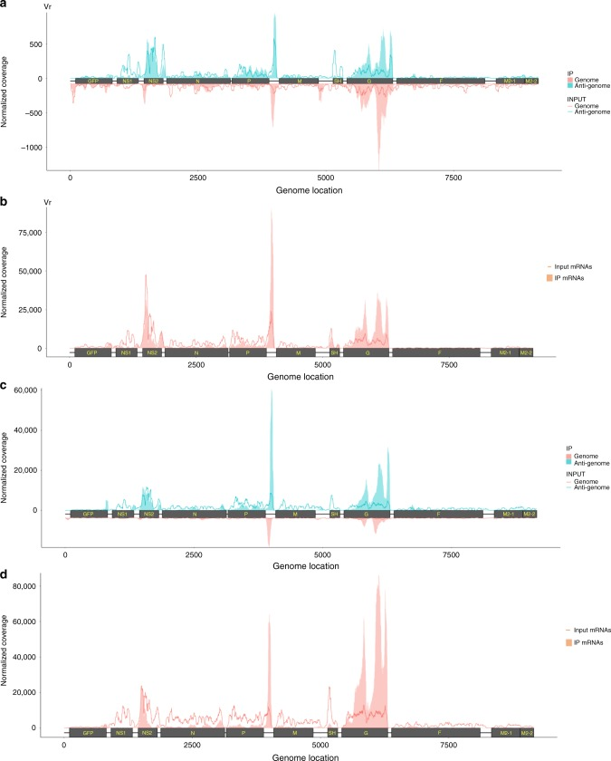 The RSV genome and antigenome/mRNAs are m 6 A methylated. a Distribution of m 6 A peaks in the RSV antigenome and genome of virions grown in HeLa cells. Confluent HeLa cells were infected by rgRSV at an MOI of 1.0, supernatant was harvested at 36 h post-infection. RSV virions were purified by sucrose gradient ultracentrifugation. Total RNAs were extracted from purified virions and were subjected to m 6 A-specific antibody immunoprecipitation followed by high-throughput sequencing (m 6 A-seq). A schematic diagram of partial RSV antigenome (complementary to regions from the leader sequence to M2-2 gene) is shown, as most m 6 A peaks are clustered in these regions. m 6 A sites in full-length antigenome and genome are shown in Supplementary Fig. 2 . The normalized coverage from m 6 A-seq of RSV RNA showing the distribution of m 6 A-immunoprecipitated (IP) reads mapped to the RSV antigenome (blue block) and genome (pink block). The baseline distributions for antigenome and genome from input sample are shown as a blue and pink line respectively. Data presented are the averages from two independent virion samples ( n = 2). b Distribution of m 6 A peaks in the RSV mRNAs from RSV-infected HeLa cells. Confluent HeLa cells were infected by rgRSV at an MOI of 1.0, cell lysates were harvested at 36 h post-infection. Total RNAs were extracted from cell lysates, and were enriched for mRNA by binding to oligo dT, and subjected to m 6 A-seq. The distribution of m 6 A-immunoprecipitated (IP) reads were mapped to the RSV mRNAs (pink block). The baseline distributions for mRNAs from input sample are shown as a pink line. Data presented are the averages from two independent virus-infected HeLa cell samples ( n = 2). c Distribution of m 6 A peaks in the RSV antigenome and genome of virions grown in A549 cells. Data presented are the averages from two independent virion samples ( n = 2). d Distribution of m 6 A peaks in the RSV mRNAs from RSV-infected A549 cells. Data presented are the av