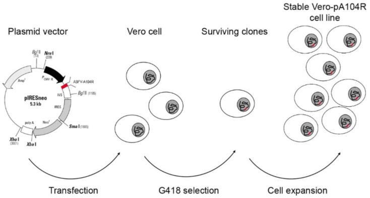 Schematic overview to generate helper cell lines expressing pA104R. Vero/COS-1 cells were transfected with the linearized pIRESneo_ASFV-A104R vector and then were subjected to antibiotic selective pressure. The surviving clones were expanded and the Vero-pA104R/COS-1-pA104R cell lines were established.