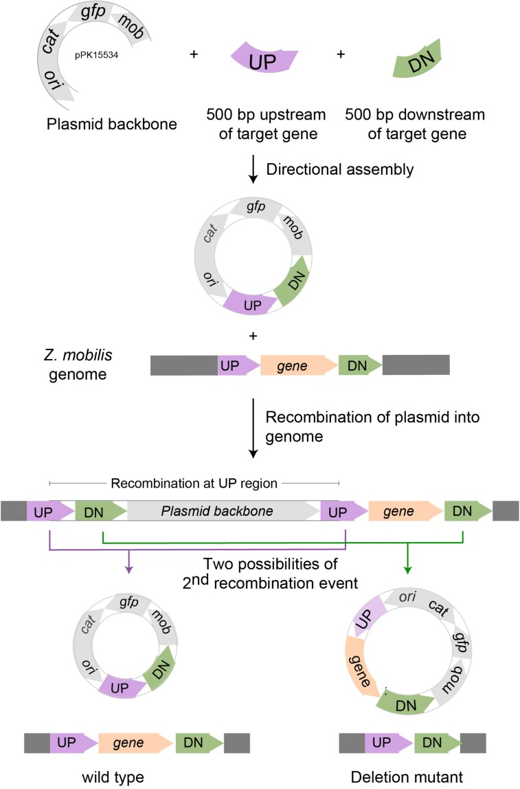 Scheme for deleting genes in Z. mobilis . Deletion of a gene in Z. mobilis is accomplished by cloning 500 bp of DNA from upstream (UP) of and downstream (DN) of the gene to be deleted into the suicide plasmid pPK15534. Next, the plasmid is introduced into Z. mobilis by conjugation and single crossover homologous recombination events are selected for with chloramphenicol. Shown here is a crossover that occurred at the UP location, but recombination at the DN location is equally possible. Lastly, growing cells without selection allow detection of a second recombination event that results in plasmid loss by screening for the loss of fluorescence from GFP. Wild-type and deletion mutant genotypes were distinguished by PCR amplification.