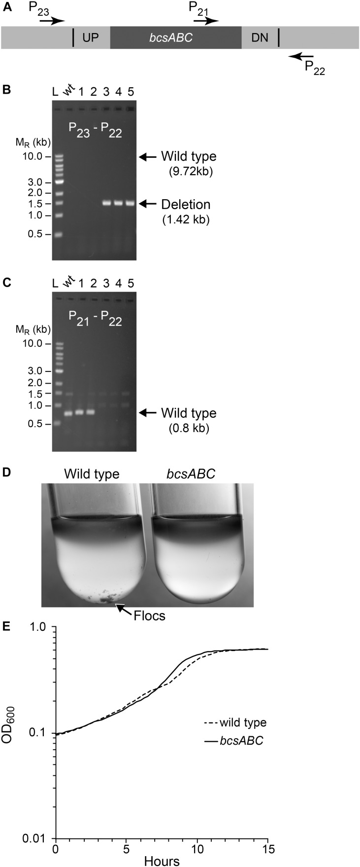 Deletion of bcsABC operon. Non-fluorescent deletion candidates for bcsABC were isolated using the same workflow as outlined for ldh and screened for deletions or wild-type (wt) alleles by PCR amplification. (A) The location of primers used to distinguish between the wt and the deletion genotype is indicated by arrows. (B,C) Agarose gel electrophoresis of products from PCR amplification of five non-fluorescent candidate colonies. (B) Amplification using primers P 22 and P 23 yielded a DNA fragment of 1.4 kb for the deletion of bcsABC (three total), while wt cells are expected to produce an amplicon of ∼10 kb, which was poorly amplified under our reaction conditions. (C) To verify the genotype of wt strains, a second PCR experiment using primers P21 and P22 was included. In this case, wt strains are expected to yield an amplicon of 0.7 kb while the deletion strain should not produce a band. Similar results were obtained from six biological replicates of this workflow. (D) To test the phenotype of our mutant, we compared flocculation of the wt (left) and deletion strain (right) after growth for 15 h in glucose minimal media under aerobic conditions. Flocs are indicated by the arrow. (E) Growth curve of wt and mutant strains grown in glucose minimal media under anaerobic conditions.
