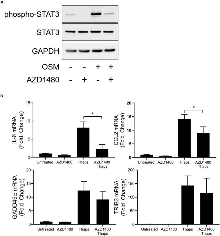 A subset of ER stress-induced JAK1-dependent signaling is insensitive to kinase inhibition of JAK1. (A) Astrocytes were pretreated with JAK1/2 kinase inhibitor AZD1480 (1 μM) for 1 h before 0.5 h treatment with oncostatin M (OSM). Protein lysates were collected and analyzed by immunoblot. (B) Astrocytes were pretreated with AZD1480 for 1 h and then treated with thaps for 4 h. Gene expression was analyzed by RT-qPCR. Data are represented as means ± standard deviation. N = 3. ∗ p