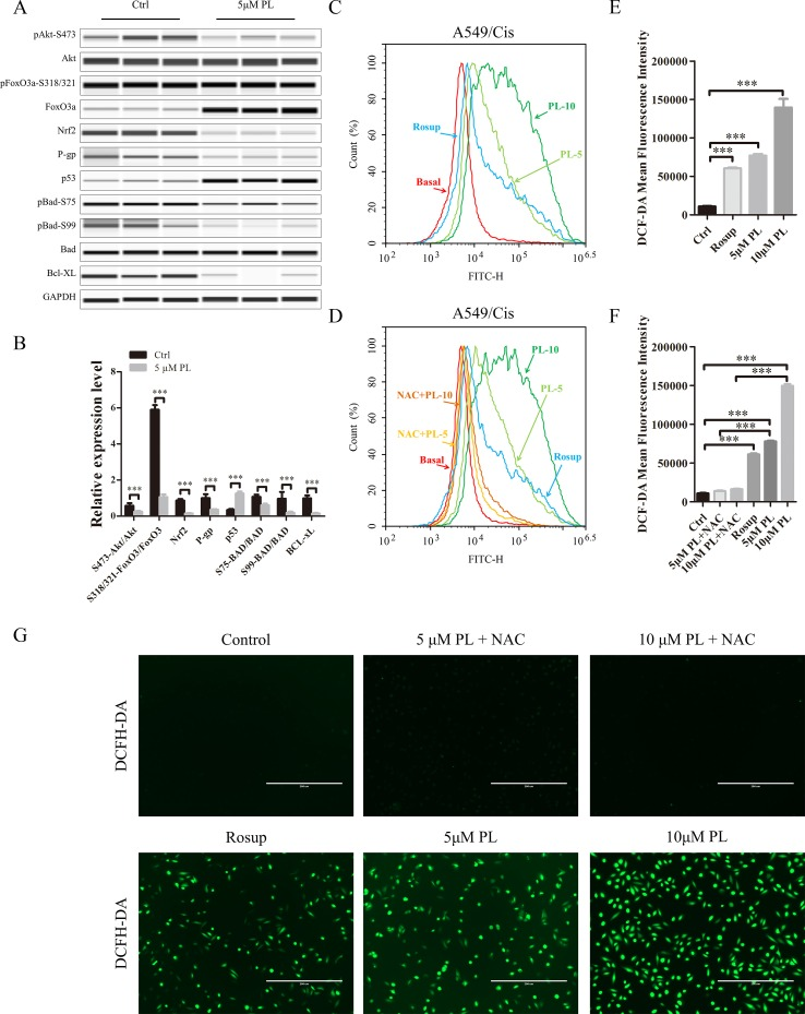 Intracellular ROS generation induced by PL was blocked by NAC. (A) PL downregulates the network of Akt signaling to reverse resistance of A549/Cis cells. A549/Cis cells were treated with DMSO or 5 μM PL for 24 h. The effects on Akt, Akt (Ser473), FoxO3a, FoxO3a (Ser318/321), Nrf2, P-gp, p53, BAD, BAD (Ser75), BAD (Ser99), and Bcl-xL protein expression were evaluated by western blot analysis. (B) relative protein expression levels were quantified using ImageJ. Phospho-protein levels were normalized to corresponding protein and the other protein levels were normalized to GAPDH. Data are expressed as the mean ± SD of three independent experiments. (C , D , E) intracellular ROS generation induced by increasing doses of PL was stained with 10 μM DCFH-DA and blocked by pre-incubated with 3 mM NAC for 2 h before exposure to PL. Intracellular ROS generation was measured by flow cytometry (C , D) or fluorescence microscope (E) . (F , G) DCF-DA mean fluorescence density was quantified using ImageJ. Data are expressed as the mean ± SD of three independent experiments. Bars = SD. * P
