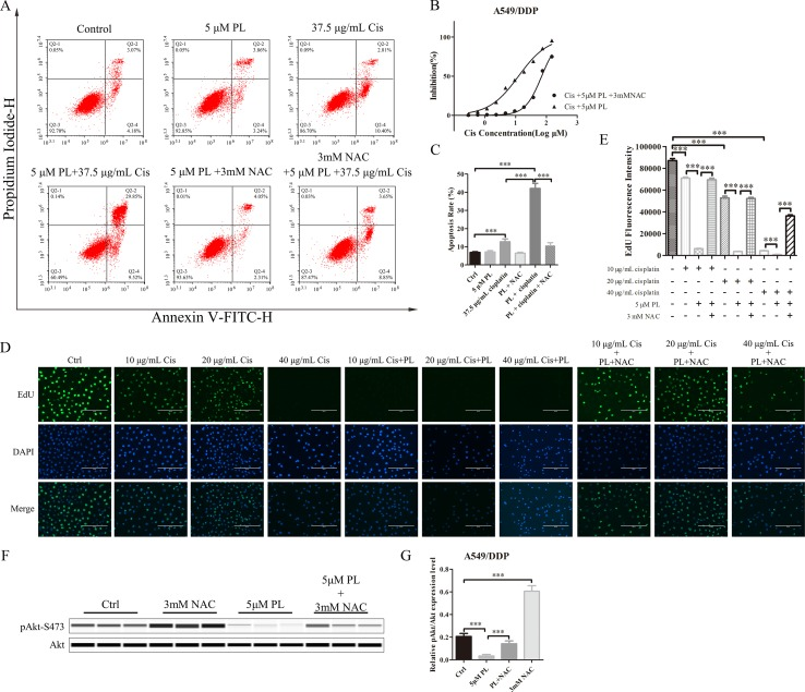 NAC can block the resistance reversal effect of PL in A549/Cis cells. (A) NAC antagonized the effect of PL combined with cisplatin on inducing apoptosis in A549/Cis cells. A549/Cis cells were treated with DMSO, 5 μM PL, 37.5 μg/ml cisplatin, 5 μM PL and 37.5 μg/ml cisplatin combined, 5 μM PL and 3mM NAC combined or 5 μM PL plus 37.5 μg/ml cisplatin, and 3mM NAC combined for 24 h. (B) the percentage of cell apoptosis was determined by Annexin–V/PI staining and flow cytometry in three independent experiments, and graphed by GraphPad Prism 5. (C) A549/Cis cells were treated with PL plus cisplatin alone or in combination with NAC at 24 h and cell viability was measured by an MTT assay. (D) A549/Cis cells were treated with increased dose of cisplatin alone, combined with PL or combined with PL and NAC, and the cell proliferation was measured by EdU assay and, (E) the fluorescence density was quantified using ImageJ. (F) A549/Cis cells were treated with DMSO, 3mM NAC, 5 μM PL alone, or in combination with NAC for 24 h. The effects on Akt and Akt (Ser-473) protein expression were evaluated by western blot analysis. (G) relative protein expression levels were quantified using ImageJ and normalized to Akt. Data are expressed as the mean ± SD of three independent experiments. Bars = SD. *** P