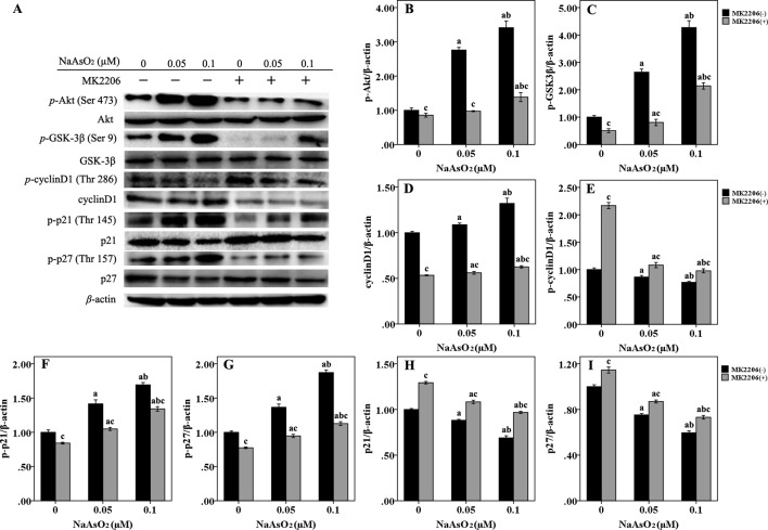 Repeated low-dose NaAsO 2 exposure induced phosphorylated protein expression of GSK-3β/cyclinD1, p21 and p27 was regulated by AKT. Protein expression was detected by the Western blot analysis. (A) Images are the representative results of three separate experiments. Quantitative graphs ( n = 3) showed the relative intensity of the target proteins compare with β-actin, including p -AKT (B) , p -GSK-3β (C) , total <t>cyclin</t> D1 (D) , p -cyclin D1 (E) , p -p21 (F) , p -p27 (G) , total p21 (H) and total p27 (I) . NaAsO 2 exposure induced increased expression of p -AKT, p -GSK-3β, total cyclin D1, p -p21, and p -p27, but decreased expression of p -cyclin D1, total p21, and total p27. Treatment of MK2206 significantly reversed the expression of all of the above proteins. Significant difference was defined as p less than 0.05. a, vs. the corresponding 0 μM group; b, vs. the corresponding 0.05 μM group; c, vs. the MK2206(-) group of the same NaAsO 2 concentration.
