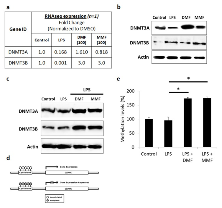 DMF and MMF induced DNMT-mediated methylation-silencing of GSDMD gene. ( A ) Whole transcriptome analysis data showed increase in DNMT3A and DNMT3B in DMF- or MMF-treated NK92 cells, compared to control cells. ( B ) Western blotting data also showed an increase in the expression of DNMT3A and DNMT3B in DMF or MMF treated cells but not in LPS treated cells. ( C ) DMF and MMF increased the expression of DNMT3A and DNMT3B in cells incubated with LPS. ( D ) Schematic representation of the presence of CpG Islands in the promoter region of GSDMD gene and repression of expression is observed upon methylation of those CGIs. ( E ) Data from MSP-PCR showed the methylation levels of GSDMD in cells either untreated (Control), or treated with LPS, or LPS plus DMF or MMF in the presence of IL-2 for 24 h. *P