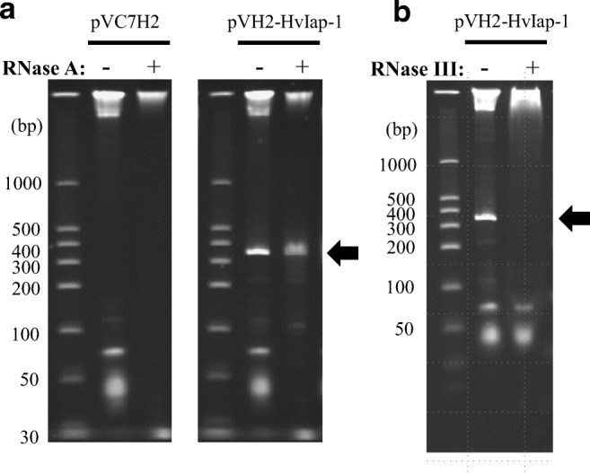 Identification of diap1* -dsRNA produced in C. glutamicum . Structural analysis of the produced RNA with RNase A ( a ) and RNase III ( b ). Total RNA from C. glutamicum strain 2256LΔ rnc harboring pVC7H2 or pVH2-HvIap-1 was prepared, and then, each RNA sample treated with RNase (plus sign) or not treated (minus sign) was subjected to 6% PAGE. Prominent RNA bands corresponding to diap1* -dsRNA are indicated with black arrows. Size marker of dsRNAs is also shown