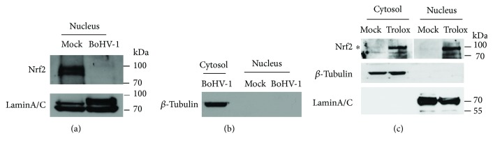 BoHV-1 infection altered the accumulation of Nrf2 in the nucleus. (a) MDBK cells in 60 mm dishes were mock infected or infected with BoHV-1 (MOI = 0.1) for 24 h, the cell cultures were collected for extracting nuclear proteins using commercial nuclear protein purification kit (Beyotime Biotechnology, cat# P0027). Nrf2 was detected by Western blot using the antibody against Nrf2 (Abcam, cat# ab137550). LaminA/C was detected and used as protein loading control. (b) Protein fractions of both the cytosol and nucleus were subjected to Western blots using the antibody against β -tubulin. (c) MDBK cells in 60 mm dishes were mock treated or treated with Trolox (1 mM) for 2 h; the cell lysates were collected for the purification of nuclear proteins and cytosol proteins using commercial nuclear protein purification kit (Beyotime Biotechnology, cat# P0027). Nrf2 was detected by Western blot using the antibody against Nrf2 (Abcam, cat# ab137550). LaminA/C and β -tubulin were detected to characterize whether each fraction was contaminated. These images are representative of three independent experiments.