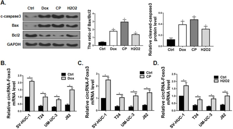 circ-Foxo3 was upregulated in response to apoptotic stress. ( A ) Western blot of cleaved-caspase3 (c-caspase3), Bax, Bcl2 and GAPDH expression in J82 cells treated with vehicle (Ctrl), doxorubicin (Dox; 1μg/mL), cisplatin (CP; 2 μg/mL), and H 2 O 2 (H2O2; 0.4 mM). The band intensity relative to GAPDH, and the ratio of Bax/Bcl2 band intensity were shown on the right. ( B – D ) Expression of circ-Foxo3 RNA level in bladder cell lines treated with vehicle ( B – D ), doxorubicin ( B ), cisplatin ( C ), and H 2 O 2 ( D ), respectively (n=5). Mean ± SD, * p