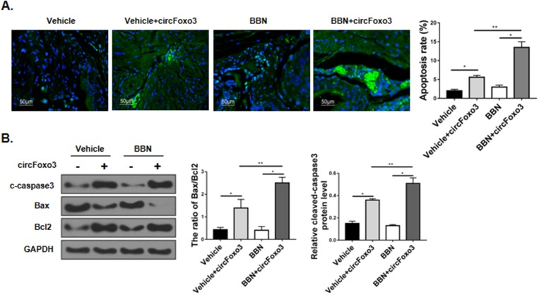 circ-Foxo3 promoted bladder tumor cell apoptosis in BBN mice. Male, 8-week-old C57BL/6 mice received control (circControl-GFP) and circ-Foxo3 (circFoxo3-GFP) somatic gene transfer by lentiviral injection, followed by exposure to oral vehicle or BBN treatment for 17 weeks. ( A ) The bladder tumor cell apoptosis was evaluated by the TUNEL assay (left) and quantified (right; n=10). ( B )Western blot of cleaved-caspase3 (c-caspase3), Bax, Bcl2 and GAPDH expression in murine bladder tissues. The band intensity relative to GAPDH, and the ratio of Bax/Bcl2 band intensity were quantified (n=5). Mean ± SD, * p