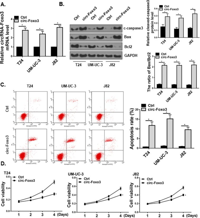 circ-Foxo3 induced cell apoptosis and reduced viability in bladder cancer cells. T24, UM-UC-3, and J82 bladder cancer cell lines received control (Ctrl) or circ-Foxo3 over-expression ( circ-Foxo3 ) plasmids. ( A ) Expression of circ-Foxo3 RNA level in bladder cell lines. ( B ) Western blot of cleaved-caspase3 (c-caspase3), Bax, Bcl2 and GAPDH expression in cells receiving treatments. The band intensity relative to GAPDH, and the ratio of Bax/Bcl2 band intensity were quantified (n=5). ( C ) Analysis of apoptosis in treated bladder cancer cell lines by flow cytometry (n=5). ( D ) Cell viability measured by the CCK-8 assay in T24, UM-UC-3, and J82 bladder cancer cell lines. Mean ± SD, * p