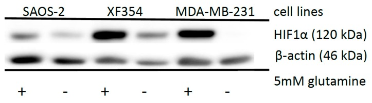 Effects of glutamine application on HIF1α expression in different tumor cell lines. Saos-2, XF354 and MDA-MB-231 cells were left untreated or treated with 5 mM glutamine in RPMI 1640 medium without glutamine under normoxic conditions for 24 h followed by Western blot analysis of HIF1α and β-actin as a loading control. Data from three independent experiments (Please see Supplemental Figure S4 and the results from the densitometric evaluation of the Western blots).