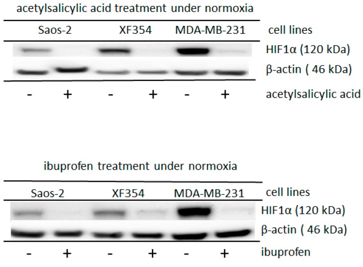 Altered HIF1α expression after the application of acetylsalicylic acid or ibuprofen in different cell lines under normoxia. Saos-2, XF354 and MDA-MB-231 cells were treated with 10 mM acetylsalicylic acid or 3 mM ibuprofen in RPMI 1640 medium with 5 mM glutamine under normoxic conditions for 24 h. Western blot analysis was performed with anti-HIF1α monoclonal antibody and anti-β-actin monoclonal antibody as a control. Acetylsalicylic acid or ibuprofen significantly reduced the glutamine-induced expression level of the normoxic HIF1α. Data from three independent experiments (Please see Supplemental Figure S5 and for the densitometric evaluation of the Western blots). For the results of experiments under hypoxic conditions, please see Supplemental Figure S6 .