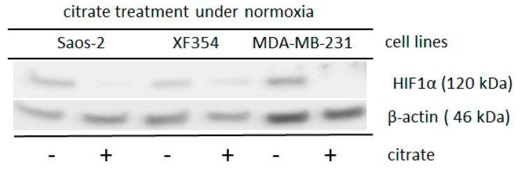 Altered HIF1α expression after the application of sodium citrate in cells of different lineages under normoxia after simultaneously treatment with glutamine. Saos-2, XF354 and MDA-MB-231 cells were treated with 8 mM (the XF354 cells were treated with only 4 mM sodium citrate) in RPMI 1640 medium with 5 mM glutamine under normoxic conditions for 24 h. Western blot analysis was performed with anti-HIF1α monoclonal antibody and anti-β-actin monoclonal antibody as a control. Sodium citrate significantly reduces the glutamine-induced normoxic HIF1 α-level. Data are from three independent experiments (Please see Supplemental Figure S10 and the results from the densitometric evaluation of the Western blots).