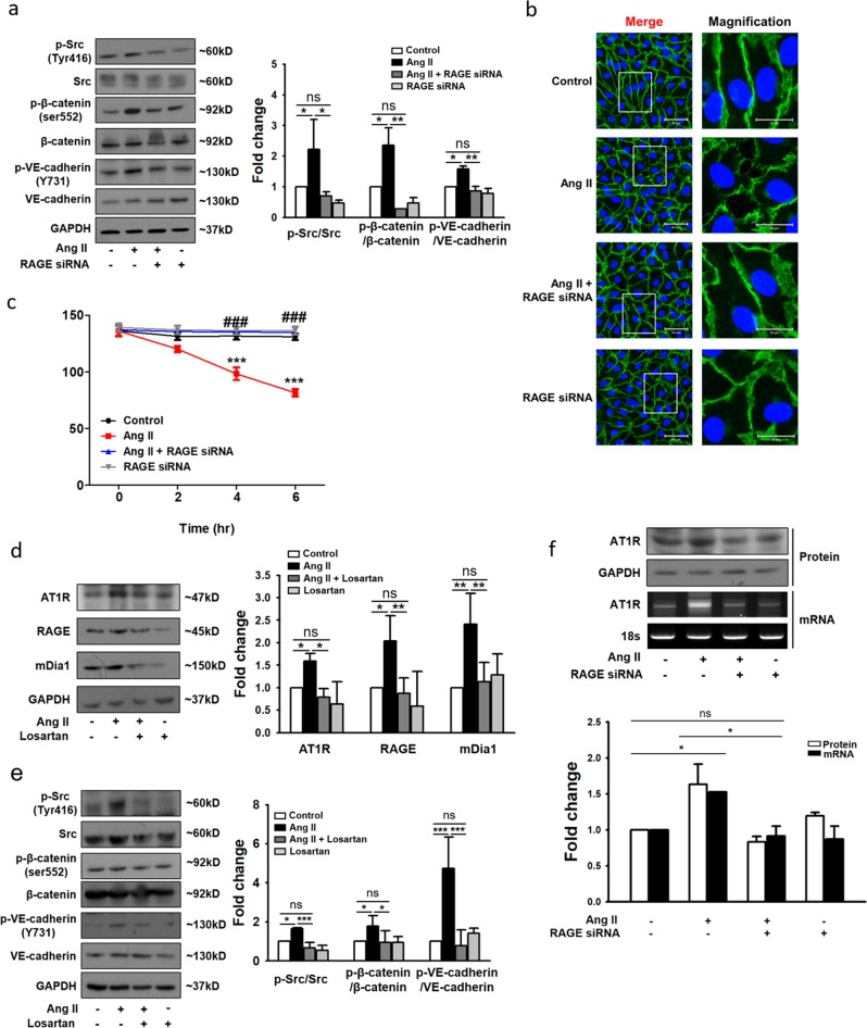 Importance of the AT1R-RAGE axis in Ang II-induced endothelial hyperpermeability in HUVECs. a Changes in the phosphorylation of VE-cadherin (Y731), Src (Tyr416), and β-catenin (Ser552) in HUVECs following transfection with RAGE siRNA and treatment with Ang II. Expression values were normalized to those of VE-cadherin, Src, and β-catenin ( n = 4 for each lane). b Immunocytochemistry of VE-cadherin (green) and DAPI (nuclei, blue), as examined under a confocal microscope (white scale bars: 50 μm in merged images and 20 μm in magnified images; ×400 magnification). The main images were selected from representative regions. c HUVECs transfected with siRNA targeting RAGE or with scrambled sequences were incubated for 72 h and were then stimulated with Ang II for 6 h. TEER was measured every 2 h. *** p