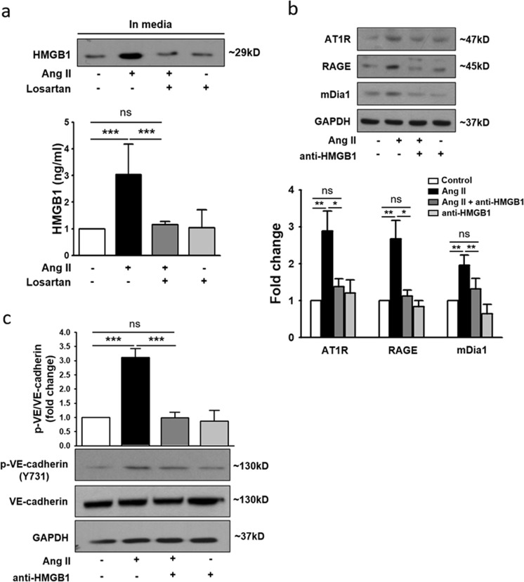HMGB1 is an important mediator of AT1R-RAGE signaling. HUVECs were treated with Ang II in the absence or presence of losartan for 4 h. a HMGB1 release in supernatants was measured by ELISA and western blotting ( n = 4 for each lane). b , c HUVECs were incubated with Ang II in the presence or absence of anti-HMGB1-neutralizing antibody (50 ng/ml) for 4 h and analyzed by western blotting. The relative values of AT1R, RAGE, and mDia1 expression were normalized to that of GAPDH ( n = 4 for each lane). The relative values of phospho-VE-cadherin expression were normalized to that of VE-cadherin ( n = 3 for each lane). The values are presented as the means ± SEMs. * p