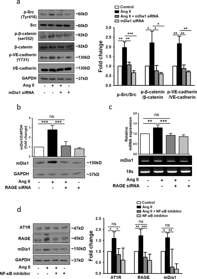 RAGE regulates Ang II-induced endothelial hyperpermeability via mDia1. a HUVECs were transfected with mDia1 siRNA and cultured in the presence of Ang II for an additional 4 h. Western blot analysis was performed to observe changes in phospho-Src, phospho-β-catenin, and phospho-VE-cadherin protein expression ( n = 4 for each lane). b Changes in mDia1 protein levels in HUVECs following transfection with RAGE siRNA, as determined by western blotting. Expression was normalized to that of GAPDH ( n = 3 for each lane). c Changes in mDia1 mRNA expression in HUVECs following transfection with RAGE siRNA, as determined by RT-PCR. Expression was normalized to that of the 18S rRNA gene ( n = 4 for each lane). d HUVECs were treated with Ang II and the NF-κB inhibitor (5 μg/ml) alone or in combination for 4 h. Protein levels of AT1R, RAGE, and mDia1 in cell lysates were determined by western blotting. Expression was normalized to that of GAPDH ( n = 4 for each lane). The values are presented as the means ± SEMs. * p