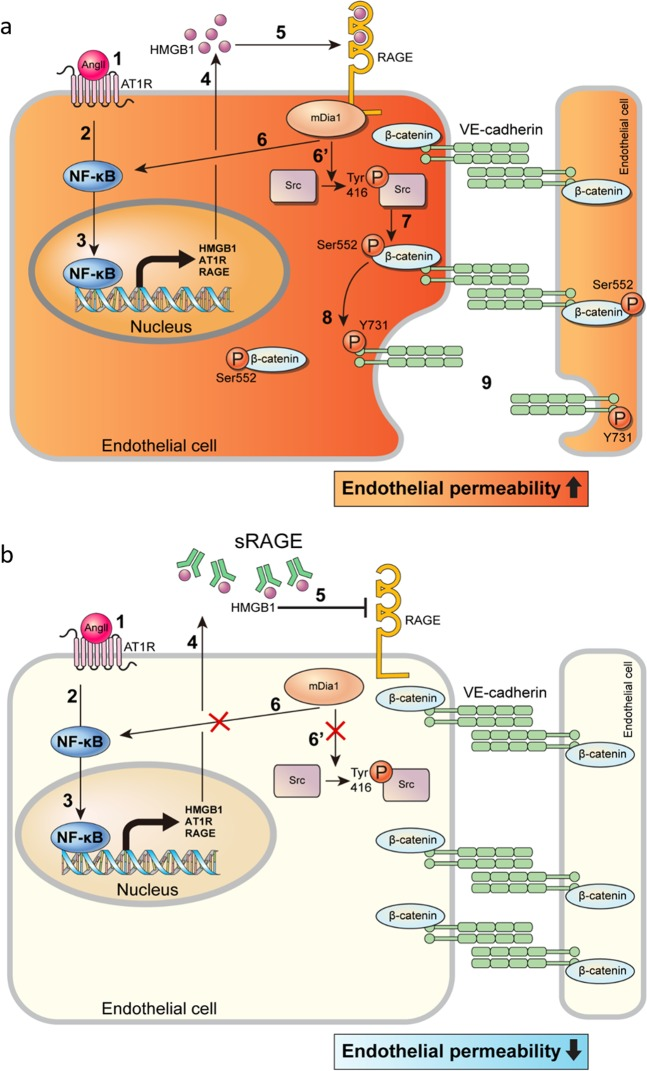 Schematic diagram of signal transduction pathways involved in Ang II-induced endothelial hyperpermeability via AT1R/RAGE/mDia1/Src/β-catenin/VE-cadherin. a As Ang II binds to and stimulates AT1R, the expression and secretion of HMGB1 can be increased by NF-κB activation. NF-κB-mediated expression of proinflammatory molecules, including RAGE itself, can occur. HMGB1 binds to RAGE, which can induce RAGE-mediated activation of Src/β-catenin/VE-cadherin via mDia1. b Blockade of RAGE activation by sRAGE attenuates the Ang II-induced increase in endothelial hyperpermeability by inhibiting RAGE-mediated signaling pathways