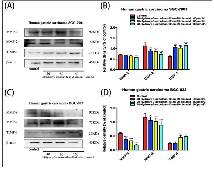 ( A,C ) Changes in the expression levels of matrix metalloproteinases (MMPs) following treatment with 28-hydroxy-3-oxoolean-12-en-29-oic acid for 24 h were assessed by Western blotting. ( B,D ) The band intensities of TIMP-1,MMP-9 and MMP-2 relative to untreated control cells were quantified upon normalizing to <t>β-actin</t> expression, and are expressed as the mean ± standard deviation of three independent experiments.