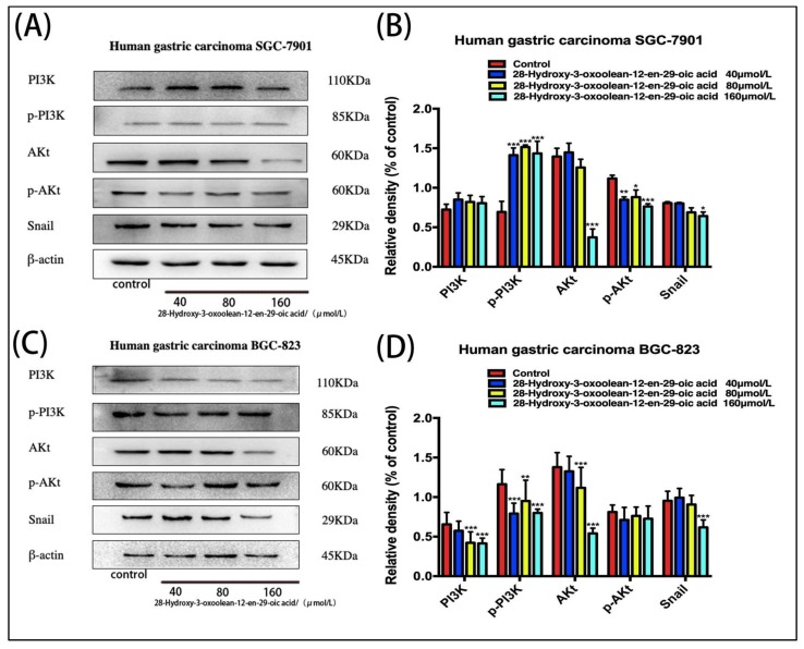 ( A , C ) Changes in PI3K/AKt/Snail biomarker expression levels following treatment with 28-hydroxy-3-oxoolean-12-en-29-oic acid for 24 h were assessed by Western blotting. ( B , D ) The band intensities of AKt, (p)-Akt, PI3K, (p)-PI3K and Snail relative to untreated control cells were quantified upon normalizing to β-actin expression, and are expressed as the mean ± standard deviation of three independent experiments.