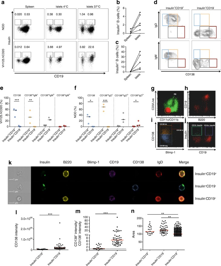 Anti-insulin islet B cells are enriched in the CD138 int subset. Pancreatic islets from groups ( n = 2 or 3) of NOD and VH125.hCD20/NOD (VH125.hCD20) mice were pooled and insulin + B cells were analysed by flow cytometry. ( a ) Representative flow plots showing insulin-positive B cells in spleen and islets, either stained at 4°C or 37°C, against CD19 expression in NOD and VH125.hCD20/NOD mice. ( b , c ) Line graphs represent percentages of insulin-positive B cells from spleens and islet that were detected by staining at 37°C in NOD ( b ) and VH125.hCD20/NOD mice ( c ) ( n = 4 groups). ( d ) Four different populations express different combinations of CD138 and IgD in NOD mice and IgM in VH125.hCD20/NOD mice: CD138 − IgD + /IgM + (blue); CD138 int IgD + /IgM + (orange); CD138 int IgD lo /IgM lo (grey) and CD138 hi IgD lo /IgM lo (red). ( e , f ) Percentage of insulin + CD19 + and insulin + CD19 − enrichment categorised by CD138 and IgM in VH125.hCD20 mice ( e ) and IgD subsets in NOD mice ( f ) ( n = 3 groups). * p