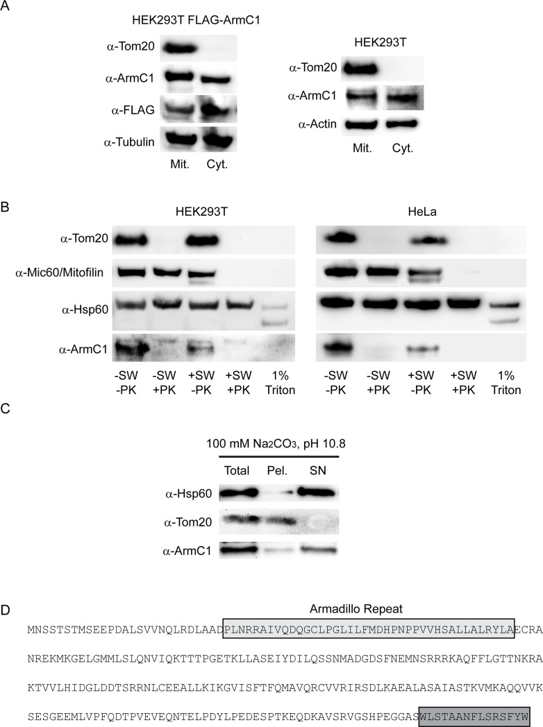 Analysis of mitochondrial association of endogenous ArmC1. (A) HEK293T cells were transfected with pCDNA3 construct encoding for N-terminally FLAG-tagged ArmC1 (FLAG-ArmC1). Transfected and non-transfected HEK293T cells were fractionated into mitochondrial and cytosolic fraction and analyzed by SDS-PAGE and western blot, using antibodies against Tom20, ArmC1, FLAG, tubulin and actin. (B) Mitochondria were isolated from HEK293T and HeLa cells and subjected to swelling in hypotonic buffer or lysis with 1% Triton X-100, followed by the treatment with 50 μg/ml protease K. Samples were analyzed by SDS-PAGE and western blot, using antibodies against Tom20, Mic60/Mitofilin, Hsp60 and ArmC1. (C) Mitochondria as in B were subjected to carbonate extraction in 100 mM Na 2 CO 3 , pH 10.8. Total mitochondria, membrane pellet and cytosolic fraction were analyzed by SDS-PAGE and western blot using antibodies against Hsp60, Tom20 and ArmC1. (D) Amino acid sequence of ArmC1 with predicted armadillo repeat and the conserved C-terminal domain in gray boxes. Tom20 –translocase of the outer membrane 20, Hsp60 –heat shock protein 60.