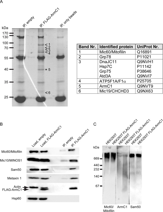 Immunoprecipitation and BN-PAGE analysis of ArmC1. (A) Mitochondria were isolated from HEK293T cells transfected with an empty pCDNA3 plasmid or with the FLAG-ArmC1 pCDNA3 construct, lysed in the buffer containing 0.5% digitonin and 1 mM PMSF, and incubated with Anti-FLAG M2 affinity gel. Eluted proteins were separated using SDS-PAGE and after colloidal coomassie G-250 staining specific bands were excised from the FLAG-ArmC1 sample and analyzed by mass spectrometry in parallel with the respective regions of the gel from the control empty vector sample. Proteins detected in the FLAG-ArmC1 but not in the control sample are listed in the adjacent table. (B) Immunoprecipitation was performed as in A and samples were analyzed by SDS-PAGE and western blot, using antibodies against Mic60/Mitofilin, Mic10/MINOS1, Sam50, Metaxin 1, Actin, FLAG and Hsp60. (C) Mitochondria were isolated from non-transfected HEK293T cells and cells where FLAG-ArmC1 has been expressed with the help of transient transfection of the FLAG-ArmC1 pCDNA3 plasmid. After solubilization with 1% digitonin buffer, samples were analyzed by BN-PAGE and western blot, using antibodies against Mic60/Mitofilin, ArmC1 and Sam50. MINOS1—mitochondrial inner membrane organizing system 1, Sam50—sorting and assembly machinery 50, Hsp60 –heat shock protein 60.