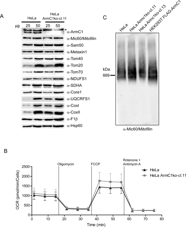 Assessment of mitochondrial protein levels, respiration and MICOS/MIB complex integrity in ArmC1 knockout cells. (A) Mitochondria were isolated from wild type and ArmC1 knockout HeLa cells and 25 and 50 μg of mitochondrial protein was analyzed by SDS-PAGE and western blot with designated antibodies. Asterisk indicates a non-specific band. (B) Oxygen consumption rate (OCR) of wildtype and ArmC1 knockout cells was analyzed by Seahorse Flux Analyzer. Basal respiration, the ATP production, the maximal respiration and the non-mitochondrial respiration were determined by sequentially injecting 2 μM oligomycin, 1 μM FCCP, and 0.5 μM rotenone and antimycin A. (C) Mitochondria from wildtype HeLa cells, two different knockdown cell lines of ArmC1 and HEK293T cells transfected with FLAG-ArmC1 pCDNA3 construct were isolated and analyzed by BN-PAGE and western blot, using antibodies against Mi60/Mitofilin, ArmC1 and Sam50. Sam50, sorting and assembly machinery 50, Tom, translocase of the outer mitochondrial membrane, NDUFS1, NADH dehydrogenase [ubiquinone] iron-sulfur protein 1, SDHA, Succinate dehydrogenase complex subunit A, UQCRFS1, Ubiquinol-cytochrome c reductase iron-sulfur subunit 1, Cox, cytochrome oxidase, F1β, ATP synthase subunit beta, Hsp60, heat shock protein 60.