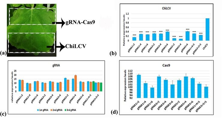 In planta expression assay. a) Inoculation positions of gRNA-Cas9 construct and ChiLCV, b) qPCR assay to understand reduction of viral replication, c) qRT-PCR assay for gRNA expression analysis, d) qRT-PCR assay for Cas9 expression analysis. For qPCR and qRT-PCR, three replicates were used for each data point. The error bar denotes SEM. Stars indicate significant difference (student's unpaired t-test) of ChiLCV expression levels between gRNA-Cas9 treated and non-treated plants (*P