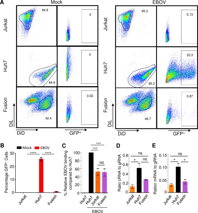 CD4 + T-cells express a cellular restriction factor that blocks EBOV replication. ( A ) Flow cytometry analysis of fusion cells generated from DiL-labeled Jurkat cells and DiD-labeled Huh7 cells infected with EBOV-GFP. ( B ) Mean percentages of GFP + cells based on triplicate samples ±SE. ( C ) Mean relative binding of EBOV based on triplicate samples ±SE. ( D ) Ratio cRNA to gRNA based on triplicate samples ±SE. ( E ) Ratio mRNA to gRNA based on triplicate samples ±SE. B: representative of one of 3 independent experiments. C, D, E: representative of one of two independent experiments. * P