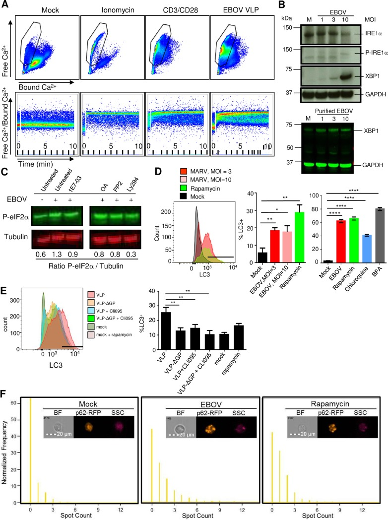 Abortive infection of T-cells results in ER-stress induced autophagy. ( A ) Flow cytometry analysis of intracellular Ca 2+ levels in primary CD4 + T-cells exposed to ionomycin, CD3/CD28 beads or EBOV VLPs for 10 min. Top dot plots results represent bound Ca 2+ (X axis) and free Ca 2+ (Y axis). Bottom dot plots represent the ratio of free Ca 2+ /Bound Ca 2+ over time during the 10 min stimulation. ( B ) Top: Western blot analysis of isolated CD4 + T-cells exposed to EBOV at various MOIs or mock-infected cells (M) for markers of ER-stress phospho-IRE1a and XBP1, as well as dephosphorylated form of IRE1a. Bottom: Western blot analysis of isolated CD4 + T-cells exposed to purified EBOV for XBP1. ( C ) Western blot analysis of phosphorylated eIF2a (P-eIF2a) in CD4 + T-cells exposed to EBOV in the presence or absence 1E7-03, okadaic acid (OA), a Lck inhibitor PP2 or a PI3K inhibitor Ly294. The ratio of phospho-eIF2a to tubulin is indicated below the Western blot images. ( D ) The induction of autophagy assessed by staining for LC3 in CD4 + T-cells exposed to EBOV or treated with rapamycin. Left: representative primary flow cytometry data. The gate indicates the position of LC3-positive cells based on the lack of staining with isotype control antibodies. Right: mean values based on triplicate samples from two different donors ± SE. ( E ) Role of GP and TLR4 signaling in induction of autophagy: Jukat cells were incubated with EBOV VLPs, VLPs lacking EBOV GP (VLP-ΔGP) or without VLPs with or without the TLR4 inhibitor CLI-095: representative primary LC3 flow cytometry data (left) and mean LC3 values based on triplicate samples ± SE. The gate indicates the position of LC3-positive cells based on the lack of staining with isotype control antibodies. ( F ) Imaging flow cytometry analysis of autophagy-specific granules of p62-RFP aggregates by an indicator Jurkat cell line. Top: representative images. Bottom: normalized levels of p62-RFP aggregates within the cell. A,B,C: repres
