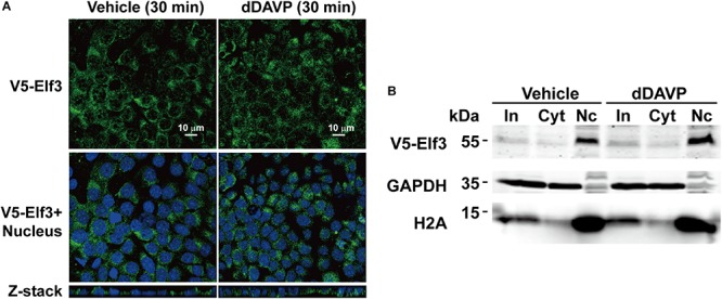 Vasopressin did not induce Elf3 nuclear translocation in the mpkCCD cells. (A) confocal immunofluorescence micrographs of mpkCCD cells transfected with the V5-tagged Elf3 isoform 1 expression vector and stimulated with dDAVP for 30 min. (B) Nucleus (Nc) vs. cytosol (Cyt) fractionation followed by immunoblotting for V5-tagged Elf3 in the mpkCCD cells under vehicle or dDAVP-stimulated conditions. GAPDH and histone H2A were stained as a cytosol and a nucleus marker, respectively. In, input i.e., cell lysate.