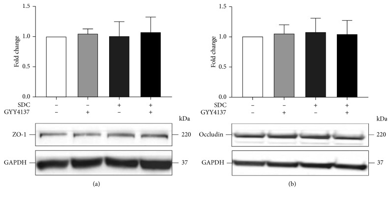 The effects of GYY4137 and SDC on the expression level of TJs in monolayers. Caco-2 monolayers were preincubated with or without 200 μ M GYY4137 for 48 h and then treated in the presence or absence of 2 mM SDC for 30 min. The total protein of monolayers was harvested after treatment for western blot assay. Results were expressed as mean ± SEM ( n = 3).