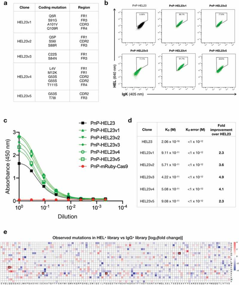 Characterization of antibody variants selected for affinity maturation. (a) The table shows the coding mutations of each of the five unique clones (HEL23v1-5) retrieved after single-cell sorting of the antigen-enriched libraries. (b) Flow cytometry dot plots show the surface expression and HEL-binding profile of the five HEL23 variants (green) and wild-type HEL23 (black). The ratio of HEL over antibody signal for each clone is shown in Figure S5a. (c) Supernatant ELISA comparing HEL binding for the five isolated variants (green) with wild-type HEL23 (black). Supernatants were adjusted to equal IgG-concentration (Fig. S5b). Two technical replicates were included for each of the mutated variants and one for the controls (PnP-HEL23 and PnP-mRuby-Cas9), and a five-parameter logistical curve was fitted to the data by nonlinear regression. For each data point, the mean is represented and the error bars indicate standard deviation. PnP-mRuby-Cas9 cell supernatant was used as negative control. (d) Affinity values of wild-type HEL23 and the five isolated variants obtained by bio-layer interferometry (BLI). The curves and fitting values are reported in Figure S6. (e) Heatmap shows enrichment of all possible substitutions for each WT residue (x-axis) in the HEL + library compared to IgG + library in a log2-fold change scale. Red substitutions are enriched in the HEL + library, while blue substitutions are depleted. White squares (log2 ratio = 0) indicate neutral substitutions not impacted by enrichment, or residues in which the mutation rate is negligible. The mutation rate for each position was calculated by summing the mutation frequency of all replicates (n = 3) for each condition. Key residues found in affinity-matured clones are indicated with black boxes.