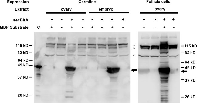 secBirA expressed in Drosophila ovaries and embryos exhibits biotin ligase activity. Protein extracts from ovaries and embryos expressing (+) or lacking (-) secBirA were incubated with (+) or in the absence of (-) a BirA substrate, Maltose Binding Protein fused in-frame to the Biotin Acceptor Peptide (MBP substrate). After SDS-PAGE and blotting to nitrocellulose, biotinylated MBP was detected with streptavidin-HRP. The lane at far left (labelled C) contains commercially available biotinylated MBP (bio-MBP)(Avidity LLC) as a positive control. When incubated together with substrate, extracts from ovaries and progeny embryos of females expressing secBirA in the germline, and extracts of ovaries from females expressing secBirA in the follicle cell layer, exhibited a strong signal corresponding to biotinylated MBP (see arrows).