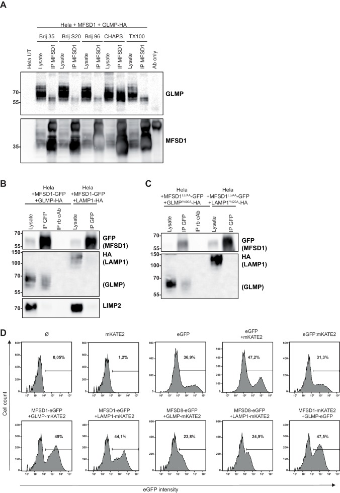 Screening of different detergents for the MFSD1-GLMP-interaction by co-immunoprecipitation and additional controls for FACS-based FRET and immunoprecipitation. ( A ) Co-immunoprecipitation of untagged MFSD1 and HA-tagged GLMP from transfected HeLa cell lysates solubilized with different detergents with antibody against MFSD1. ( B ) Co-immunoprecipitation of C-terminal GFP-tagged MFSD1 and HA-tagged GLMP from transfected HeLa cell lysates solubilized with CHAPS. MFSD1-GFP was precipitated using an antibody against GFP or an unspecific control antibody (cAb). HA-tagged GLMP and LAMP1 (included as a negative control) were detected by immunoblot with an antibody against HA. LIMP2 was detected as an additional control and was exclusively detected in the lysates, but not the GFP-precipitate. ( C ) Co-immunoprecipitation of C-terminal GFP-tagged MFSD1 LL/AA PM mutant and HA-tagged GLMP Y400A from transfected HeLa cell lysates solubilized with CHAPS. MFSD1 LL/AA -GFP was precipitated using an antibody against GFP or an unspecific control antibody (cAb). HA-tagged GLMP Y400A and LAMP1 Y414A (PM localized LAMP1 variant included as a negative control) were detected by immunoblot with an antibody against HA. ( D ) Plot of the GFP intensity of the HeLa cells transfected with different plasmids used for the flow cytometry-based FRET analysis. The number in the plot represents the percentage of GFP+ cells alive for each condition.