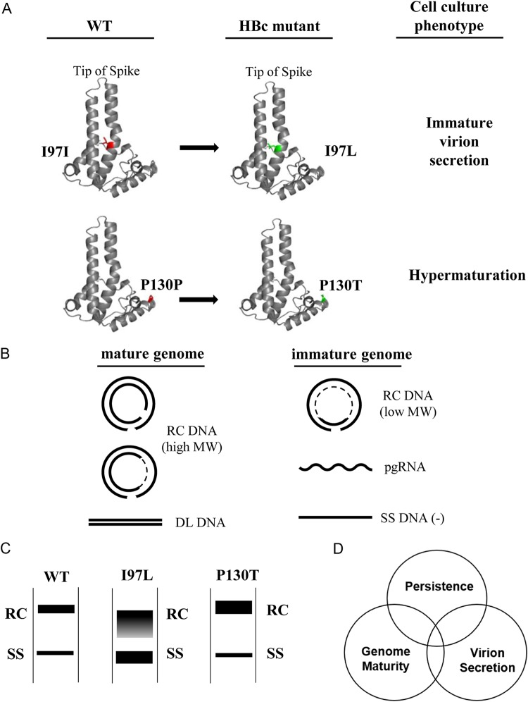 HBV core variants I97L and P130T exhibited abnormal behaviors in viral DNA synthesis and virion secretion. (A) Two frequent natural mutations of HBV core (HBc) antigen occur at amino acids 97 and 130 in chronic hepatitis B patients. The image is a schematic representation of the fold of the HBV capsid protein monomer based on the published crystal structure (PDB code 1QGT ) by use of the PyMOL program. Red, wild-type amino acid; green, HBc mutants. Cell culture phenotypes are as explained below for panels B and C. (B) Illustrations of mature and immature HBV genomes. pgRNA, pregenomic RNA; SS DNA, single-stranded (–) DNA reversed transcribed from pgRNA (+); RC DNA, partially double-stranded relaxed circle DNA. DL, low-abundance double-stranded linear DNA, which can be separated from RC DNA after a longer period of electrophoresis. A dotted line of RC molecules represents the single-strand gap region with a variable size in an HBV population. (C) Different Southern blot patterns of virion-associated HBV DNA genomes from the wild type and HBc mutants. (D) Diagram of the trilateral relationships among persistence, genome maturity, and virion secretion.