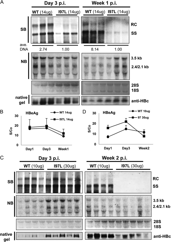 Reduction in the persistence of intracellular HBV DNA level of mutant I97L in the mouse liver by hydrodynamic delivery. (A) Liver samples were collected at 3 days or 1 week after the hydrodynamic injection of 14 μg of HBV plasmid DNAs of WT or mutant I97L. The intrahepatic levels of viral DNA and RNA were determined using Southern and Northern blot analyses. The averaged amounts of total viral DNA were measured and calculated as described in Fig. 2D . Some differences in the intensities of viral RNAs are not representative and are likely due to experimental variations from individual littermate. The viral DNA level of mutant I97L appeared to be much lower than those of WT HBV at day 3 or week 1 postinjection. The intrahepatic levels of ribosomal 28S and 18S RNAs were included as the sample loading control for Northern blotting. The intrahepatic levels of capsid particles were determined by native agarose gel electrophoresis and subsequent immunoblotting with anti-HBc antibodies. The results here represent one of four independent repeat experiments. (B) The serum HBeAg titers in mice receiving WT (●) or I97L (■) DNAs were determined at the indicated time points with an enzyme immunoassay (see Materials and Methods). S/Co, signal/cutoff. Positivity for HBeAg was defined as an S/Co value of ≥ 1. (C) More rapid decay of viral DNA of mutant I97L in hepatocytes was observed by hydrodynamic delivery. As described above, liver samples were collected for Southern and Northern blot analysis at 3 days or 2 weeks after the hydrodynamic injections of 10 μg of WT or 30 μg of mutant I97L HBV DNA. Although the viral DNA levels were comparable between 10 μg of WT and 30 μg of I97L at 3 dpi (left panel), no viral DNA signal of I97L was detectable at 2 weeks postinjection (right panel). (D) Detection of extracellular levels of HBeAg was as described above.