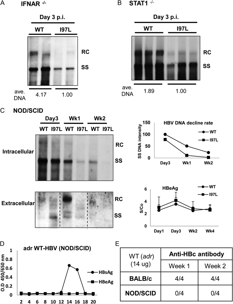 Mutant I97L replicates less efficiently than wild-type HBV in three different kinds of immunodeficient mice. (A) IFN-α receptor knockout (IFNAR −/− ) mice were hydrodynamically injected with 30 μg of DNA of WT or mutant I97L HBV. Mouse liver was collected on 3 dpi, and HBV DNA was extracted for Southern blot analysis. Each lane represents one viral DNA sample extracted from 100 mg of the liver mass of one injected mouse. The overall viral DNA synthesis of mutant I97L is significantly reduced relative to WT HBV. The results here represent one of two independent repeat experiments. (B) STAT1 −/− mice were hydrodynamically injected with 30 μg of HBV plasmid DNA. The viral DNA levels of mutant I97L, particularly the RC form, were greatly reduced in the liver at 3 dpi by Southern blotting. Each lane represents one viral DNA sample extracted from 100 mg of the liver mass of one injected mouse. The averaged amounts of total viral DNA were measured and calculated as described in Fig. 2D . (C, left panel) At different time points postinjection into NOD/SCID mice, intracellular core-associated HBV DNA in the liver (upper panel) and extracellular HBV DNA in the sera (lower panel) were compared between WT HBV and mutant I97L by Southern blotting. In both panels, each lane represents pooled HBV DNA samples from three to four mice in the same experimental group. (Upper right panel) A faster decline rate of mutant I97L SS DNA was observed in a time course experiment. (Lower right panel) Similar levels of serum HBeAg were observed by ELISA in the same time course experiment. The results here represent one of two repeat experiments. (D) No naked core particles can be detected in serum samples of HBV DNA-injected NOD/SCID mice. Serum samples were subjected to cesium chloride gradient centrifugation, and HBsAg-positive fractions were detected by HBsAg ELISA (see Materials and Methods). No positive signal was detected in all fractions by HBeAg ELISA. (E) Anti-core antibody can be detec