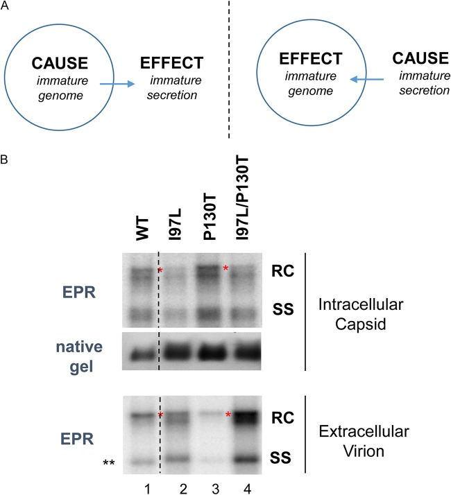 Mutant I97L can synthesize full-length RC form by in vitro endogenous DNA polymerase reaction (EPR). (A) Two different hypotheses for the cause-effect relationship between genome maturation and virion secretion (see Discussion for details). The left panel postulates that an intracellular defect in genome maturation is the primary cause of the extracellular immature secretion of mutant I97L. The right panel postulates that an overly efficient and less selective envelopment is the primary cause of the intracellular deficiency in the fully mature RC DNA in mutant I97L. (B) As described in the Fig. 5 legend, BALB/c mice were hydrodynamically injected with four different HBV constructs (WT, I97L, P130T, and I97L/P130T). At 3 dpi, liver lysate and pooled sera were used to purify HBV capsids for EPR as described previously (see Materials and Methods). In vitro -elongated viral DNAs were extracted after EPR. As an internal control, intracellular capsids were measured by native agarose gel electrophoresis, followed by Western blotting using anti-core antibody. Red asterisks highlight the fully mature full-length, double-stranded DNA of the RC form. **, the minor difference in the mobility of SS DNA between WT and I97L (lanes 1 and 2) is not reproducible, probably due to experimental variation in salt concentrations between these two particular samples. The results represent one of three independent repeat experiments.