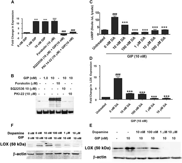 ( A ) LOX mRNA regulation by GIP depends on PKA. MC3T3 cells were treated with GIP for 4 hours in the presence and absence of PKA pathway activators and inhibitors, and RNA was analyzed for LOX levels. LOX RNA levels were increased by GIP, which was prevented when cells were treated with the adenylyl cyclase inhibitor SQ22536 or the PKA inhibitor PKI 14‐22. Data were calculated using the 2 –(ΔΔCT) method and are represented as fold change relative to GAPDH. Data are means ± SE, *** p